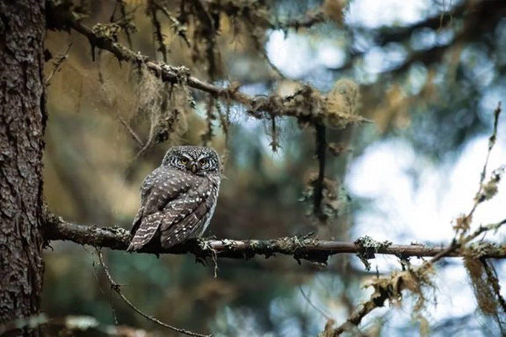 Varpuspöllö puussa
